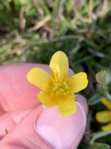 Ranunculus fascicularis - Dwayne Estes