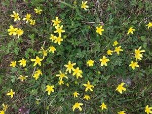 Ranunculus fascicularis - Tara Littlefield