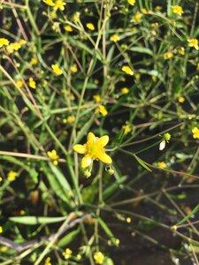 Ranunculus laxicaulis - Theo Witsell
