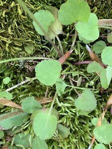 Ranunculus micranthus - Dwayne Estes