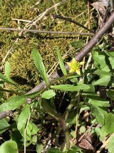 Ranunculus micranthus - Shawn Krosnick