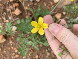 Ranunculus sardous - Shawn Krosnick