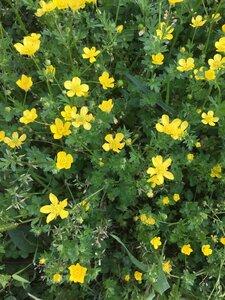 Ranunculus sardous - Tara Littlefield