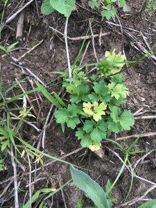 Ranunculus sardous - Theo Witsell