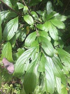 Rhamnus davurica - Tara Littlefield