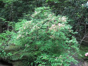 Rhododendron arborescens - Tara Littlefield