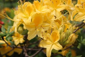 Rhododendron calendulaceum - Ashley B. Morris