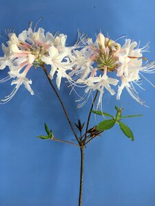 Rhododendron canescens - Joey Shaw
