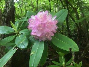 Rhododendron catawbiense - Tara Littlefield