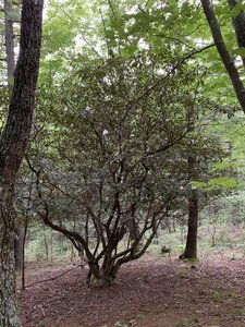 Rhododendron maximum - Dwayne Estes
