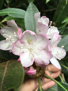 Rhododendron maximum - Joey Shaw
