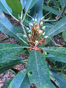 Rhododendron maximum - Milo Pyne