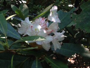 Rhododendron maximum - Milo Pyne