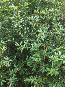 Rhododendron minus - Dwayne Estes