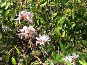 Rhododendron periclymenoides - Milo Pyne