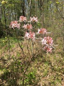 Rhododendron periclymenoides - Tara Littlefield
