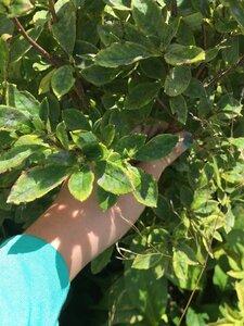 Rhododendron pilosum - Dwayne Estes