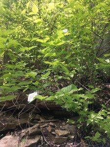 Rhodotypos scandens - Tara Littlefield