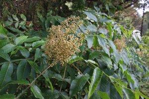 Rhus copallinum - Ashley B. Morris