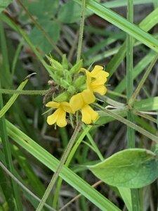 Rhynchosia tomentosa - Dwayne Estes