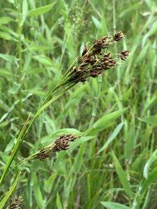 Rhynchospora caduca - Dwayne Estes