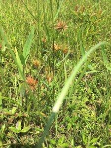 Rhynchospora corniculata - Joey Shaw