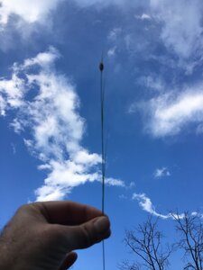 Rhynchospora gracilenta - Dwayne Estes