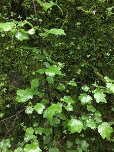 Ribes cynosbati - Joey Shaw