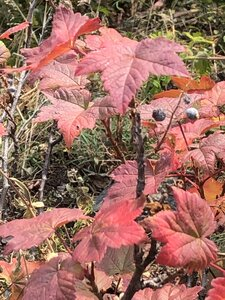 Ribes glandulosum - Milo Pyne