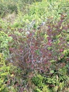Ribes rotundifolium - Dwayne Estes
