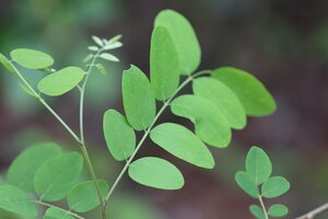 Robinia pseudoacacia - Ashley B. Morris