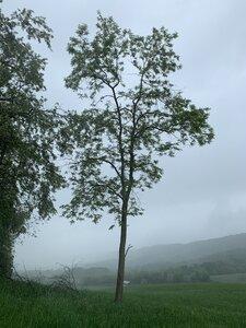 Robinia pseudoacacia - Dwayne Estes