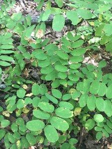 Robinia pseudoacacia - Theo Witsell