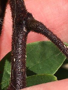 Robinia viscosa - Dwayne Estes
