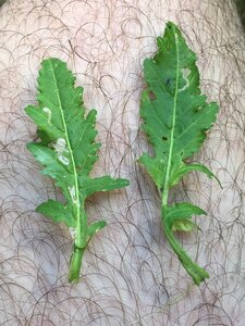 Rorippa palustris ssp. palustris - Dwayne Estes