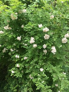 Rosa multiflora - Joey Shaw