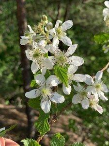 Rubus allegheniensis - Dwayne Estes