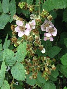 Rubus bifrons - Milo Pyne