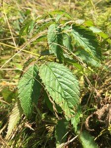 Rubus canadensis - Dwayne Estes