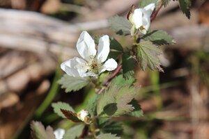 Rubus flagellaris - Ashley B. Morris