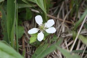 Rubus flagellaris - Dwayne Estes