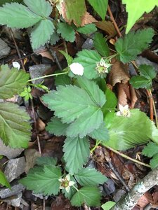 Rubus flagellaris - Joey Shaw