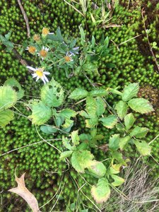 Rubus flagellaris - Tara Littlefield