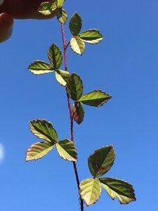 Rubus hispidus - Dwayne Estes
