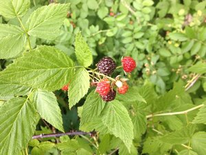 Rubus occidentalis - Milo Pyne