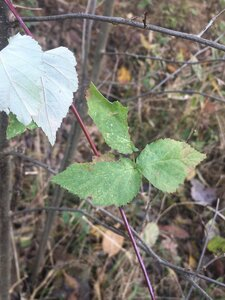 Rubus occidentalis - Tara Littlefield