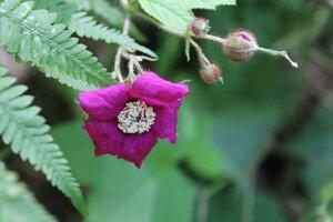 Rubus odoratus - Joey Shaw