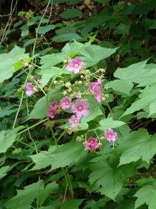 Rubus odoratus - Milo Pyne