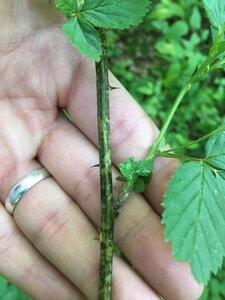 Rubus pensilvanicus - Dwayne Estes