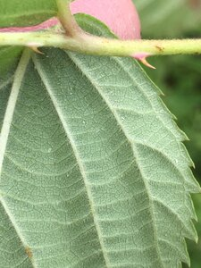 Rubus pensilvanicus - Joey Shaw
